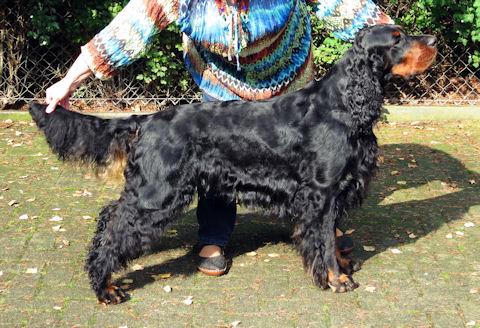 Gordon Setter Fairray Comedian to Foresters