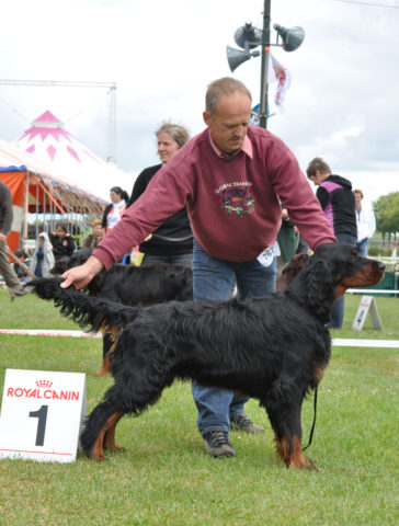gordon setter keltic dwyn from the noble friends